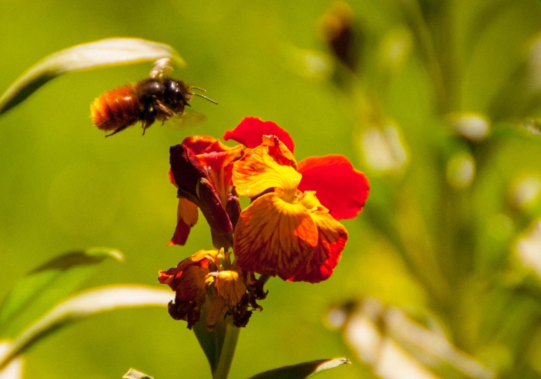 Alhelí abejorro