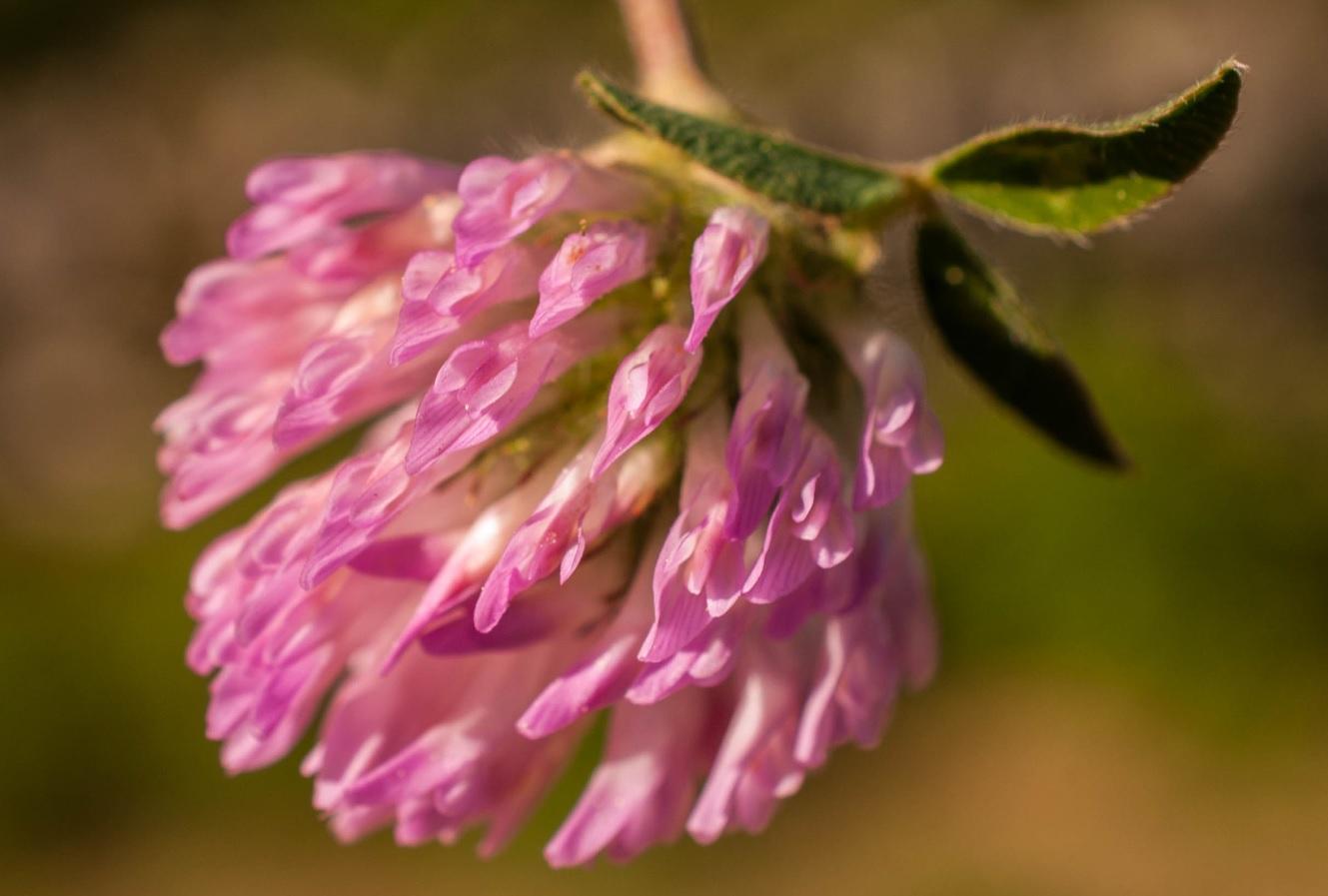 Trifolium pratense L. Las Obreras de Aliste CB Artesanos de la Miel Aliste Gallegos del Campo Artesanos de la Miel