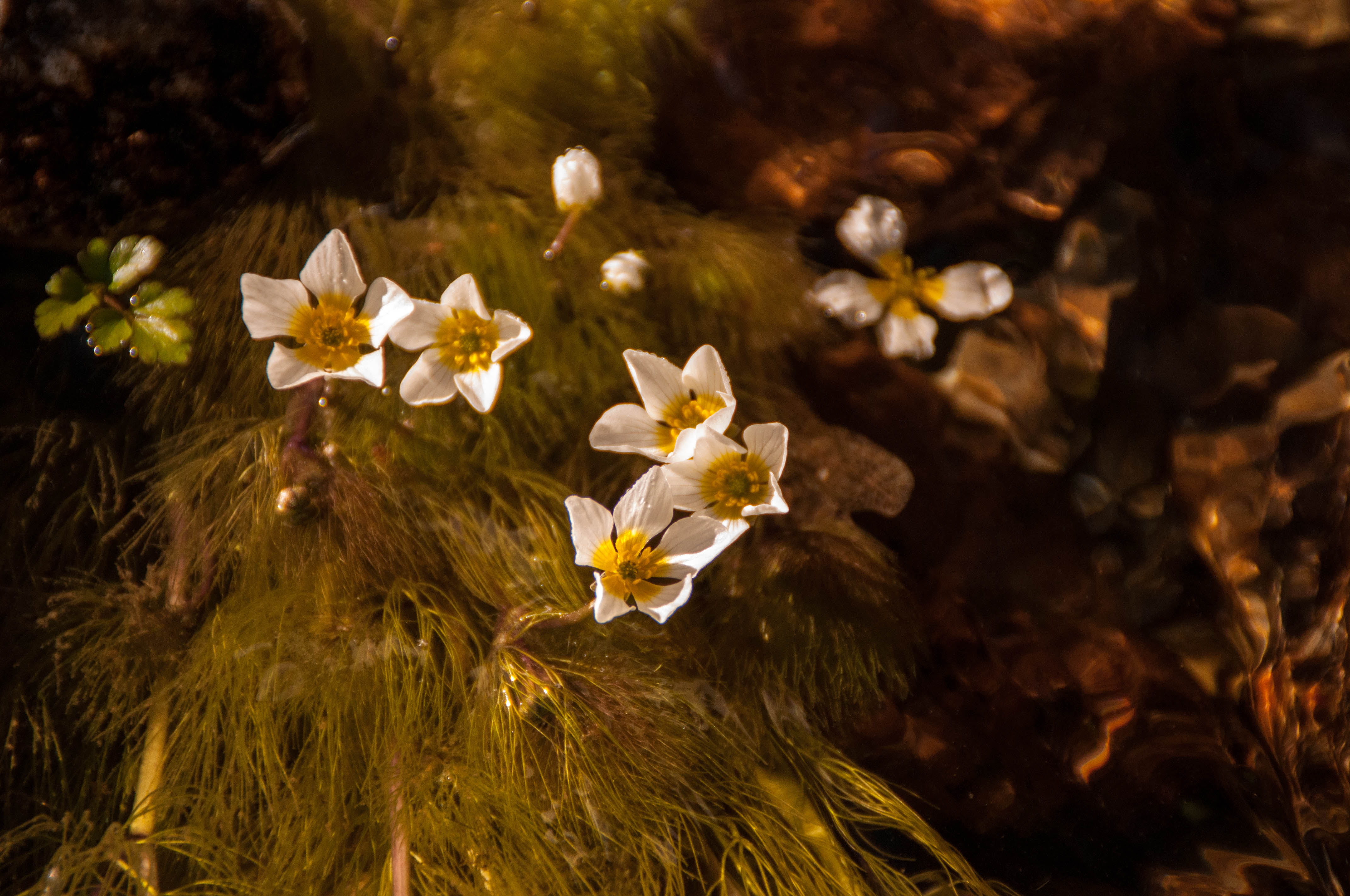 Ranunculus Las Obreras de Aliste