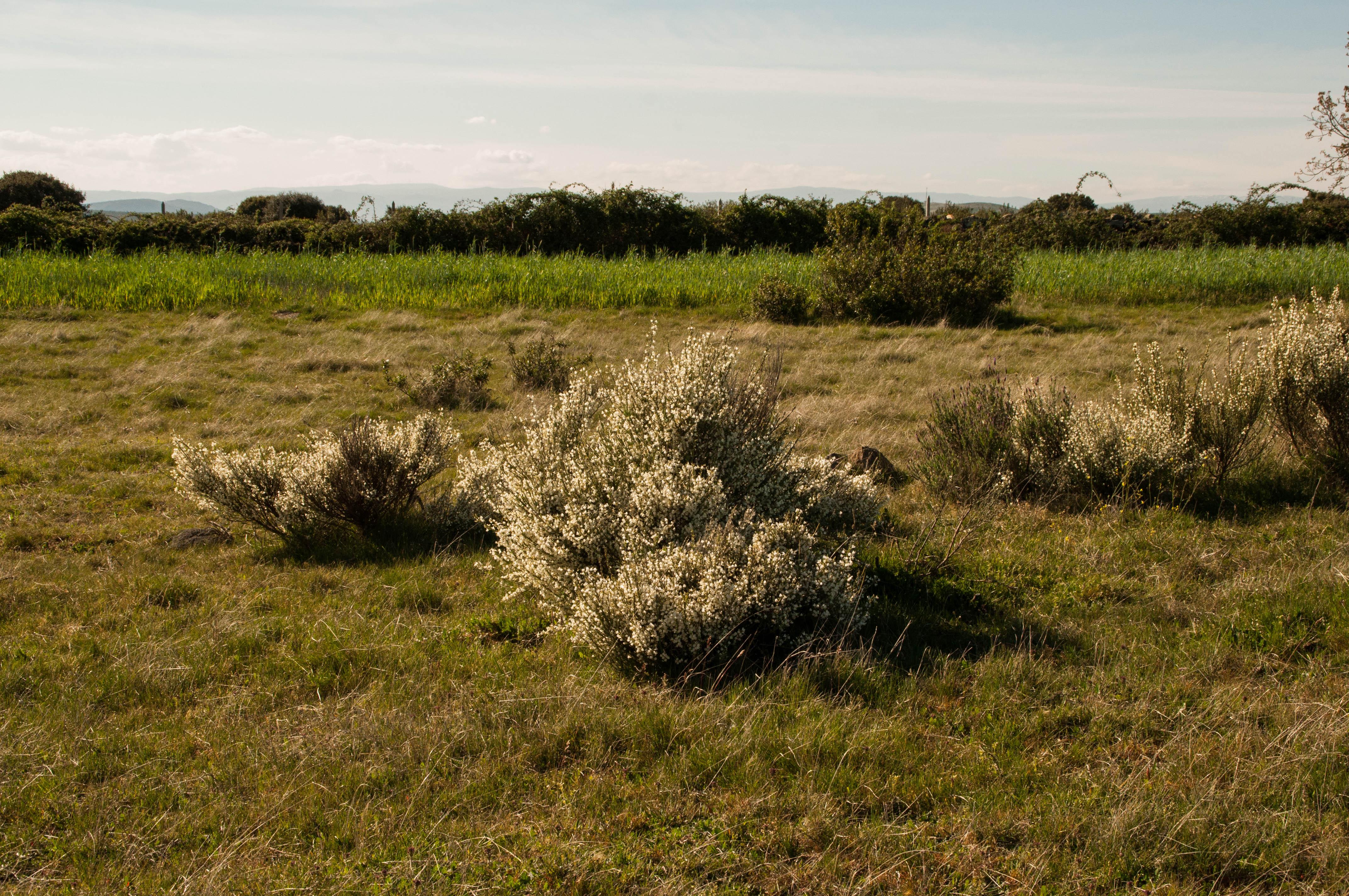 Cytisus ssp Las Obreras de Aliste