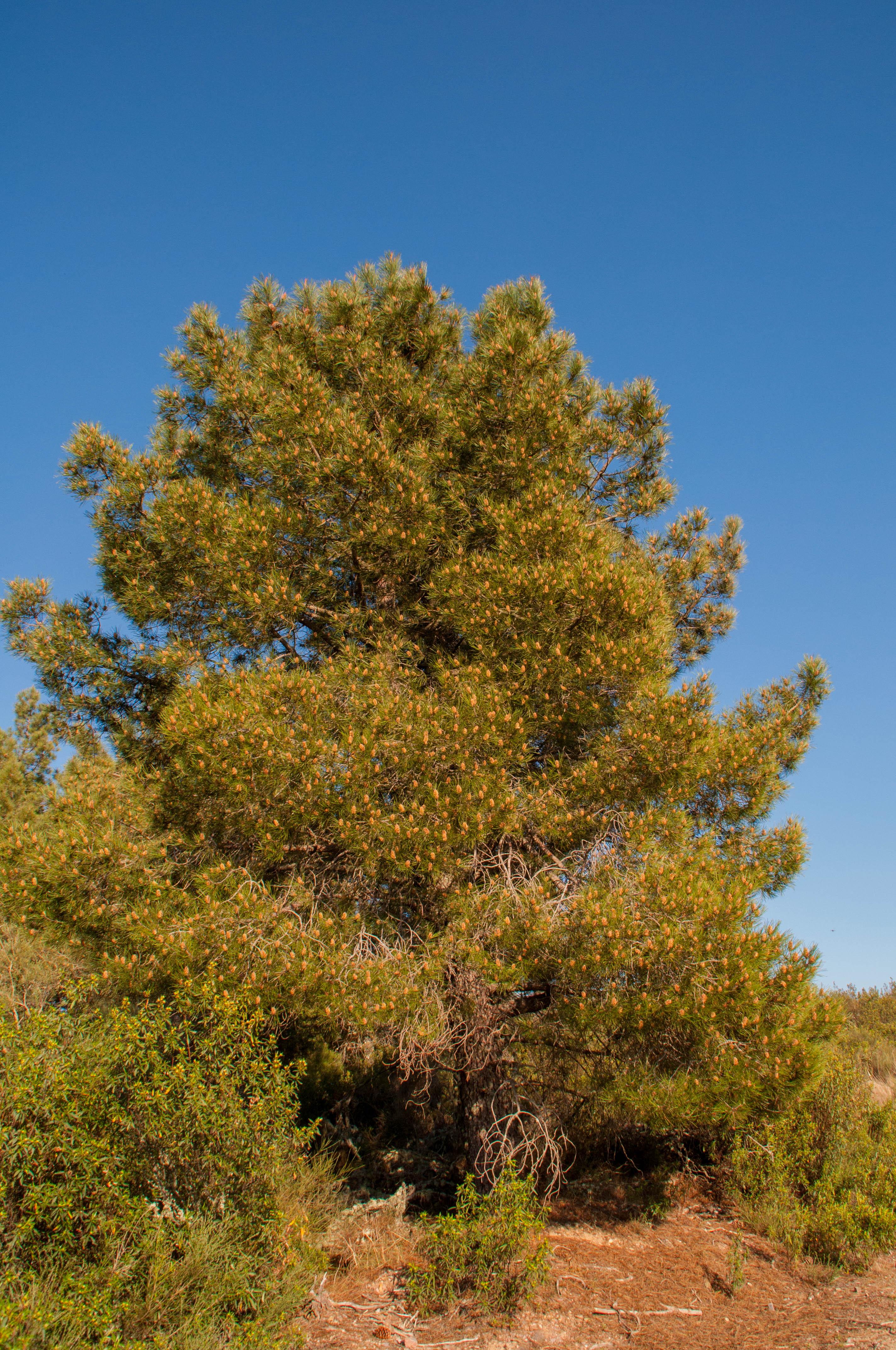 Pinus pinaster Las obreras de Aliste
