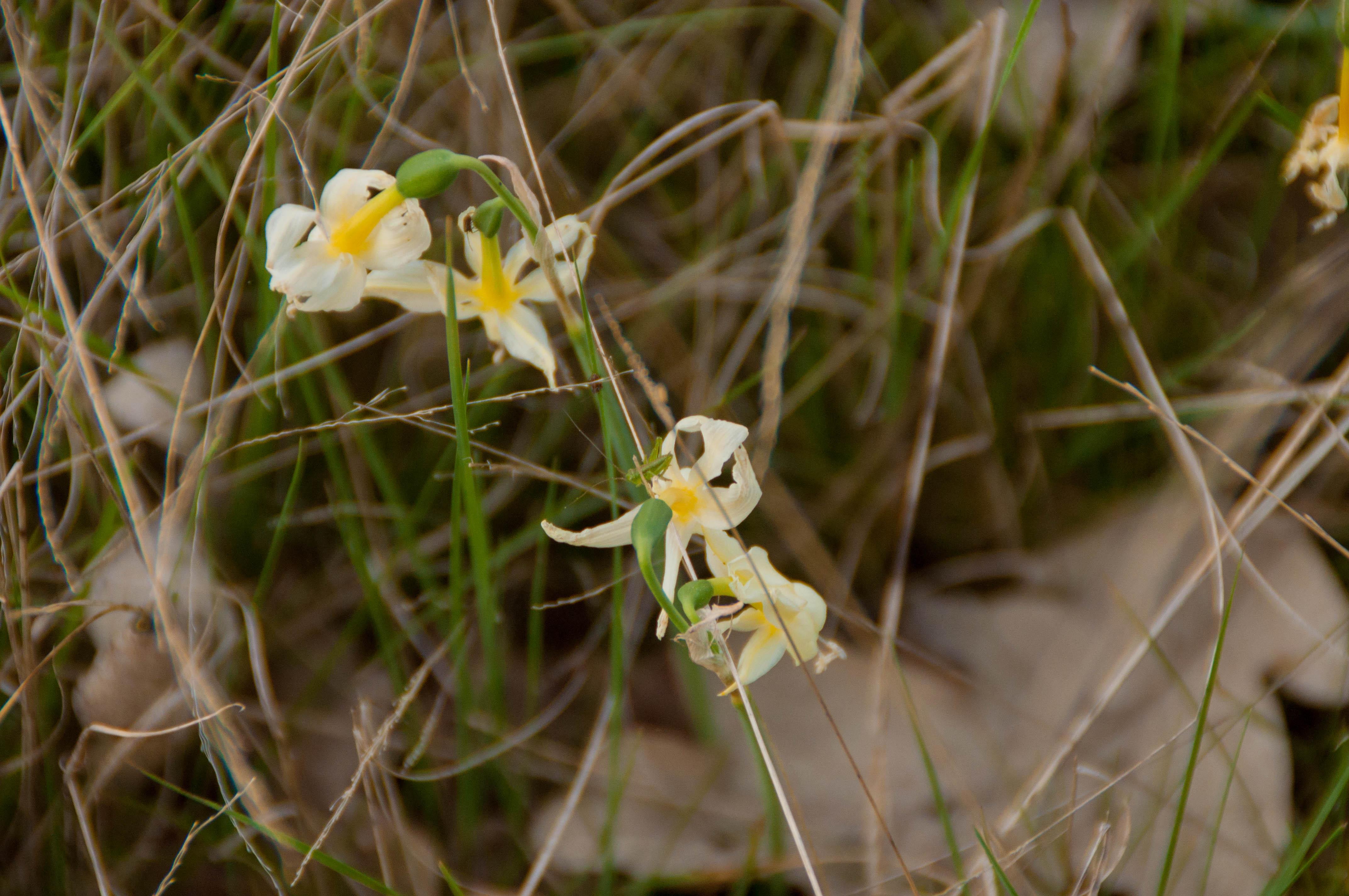Narcissus pallidulus Las Obreras de Aliste CB Artesanos de la Miel Aliste Gallegos del Campo Artesanos de la Miel