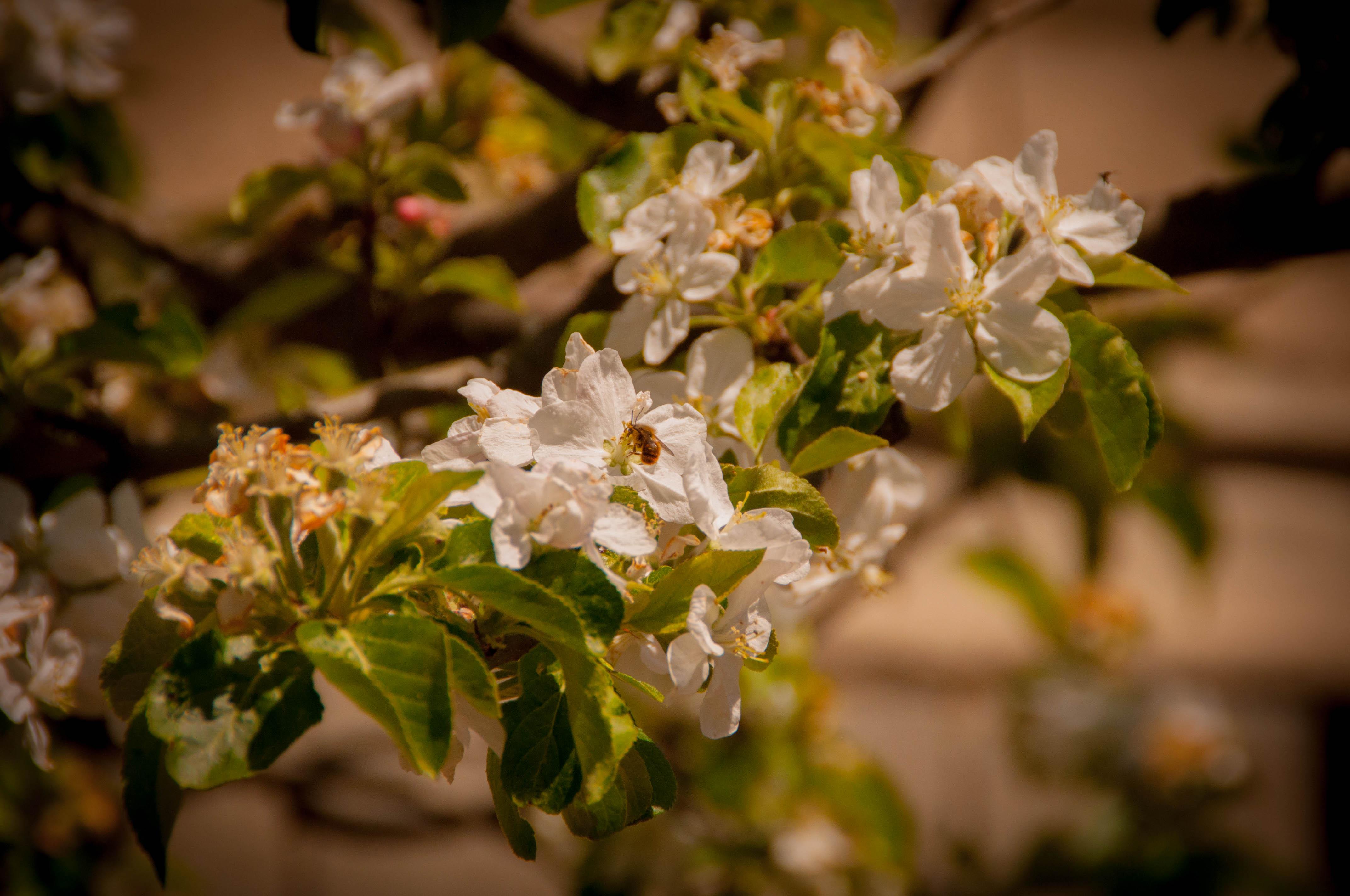 Malus manzana Las Obreras de Aliste