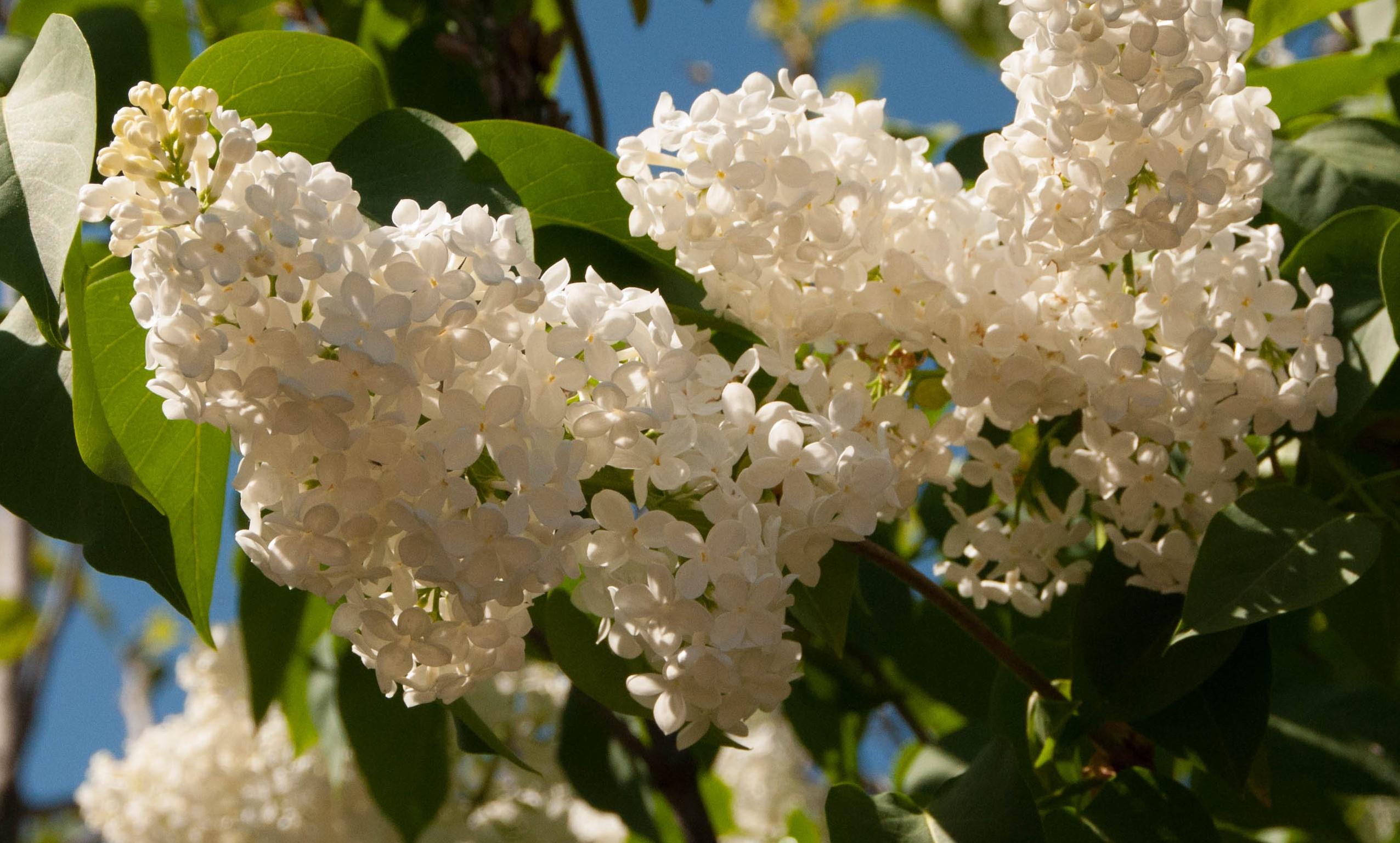 Lilas Syringa ssp. Las Obreras de Aliste