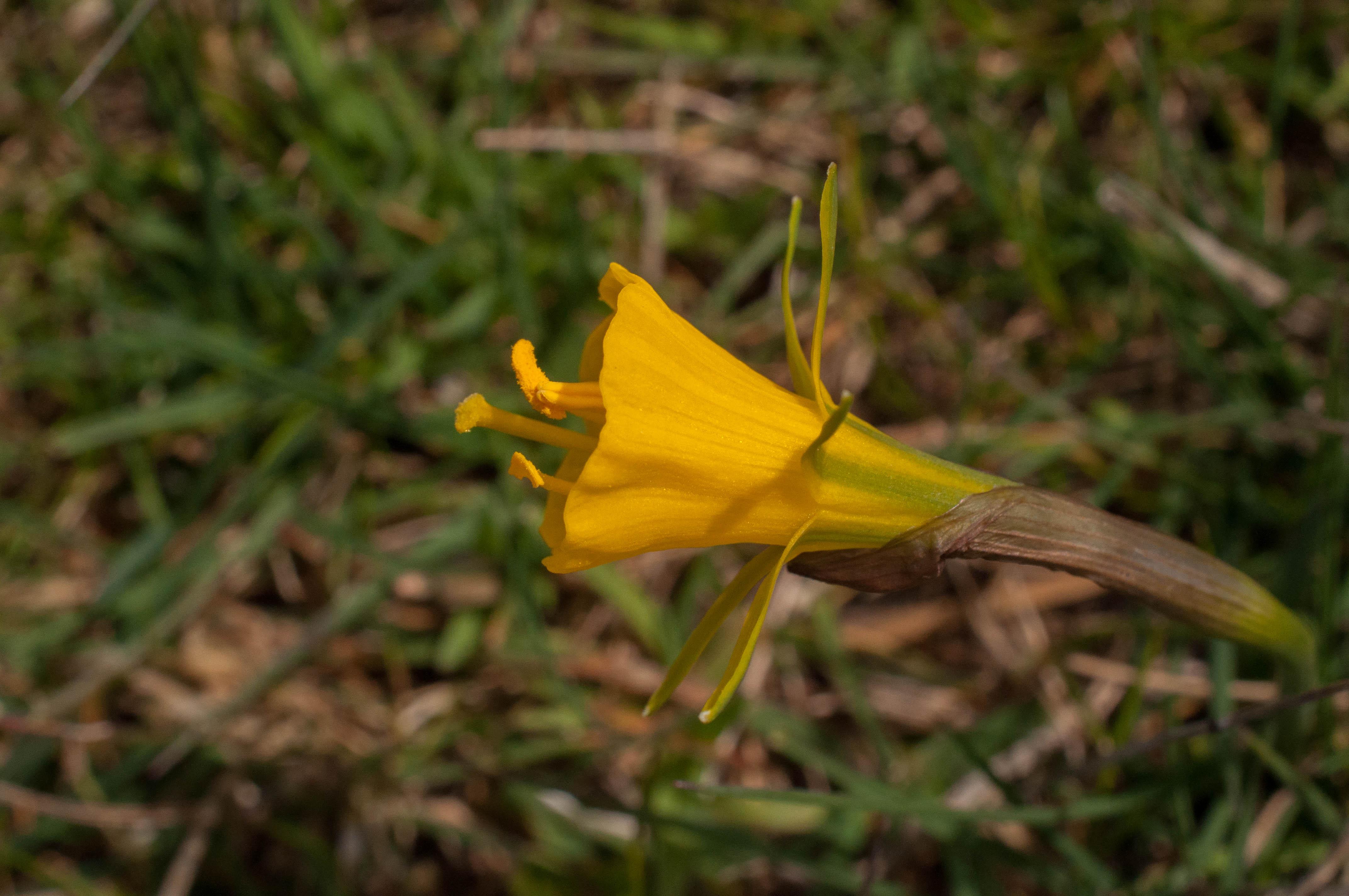 Narcissus bulbocodium Las obreras de Aliste Artesanos de la miel Zamora Spain