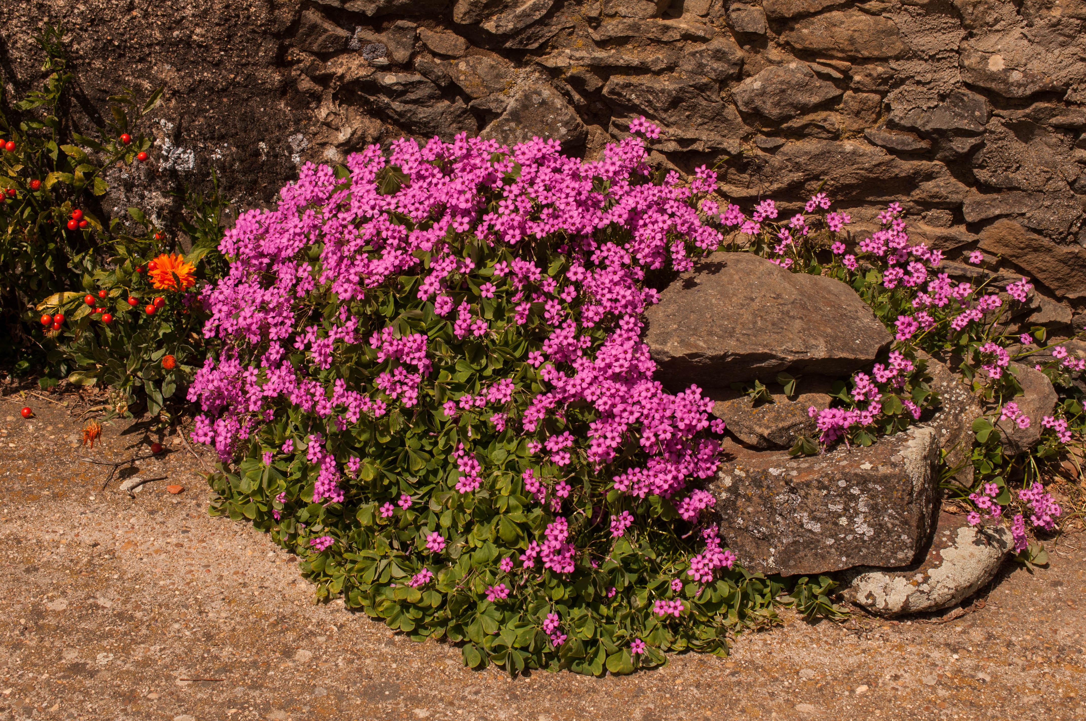 Oxalis articulata Las Obreras de Aliste CB Artesanos de la Miel Aliste Gallegos del Campo Artesanos de la Miel