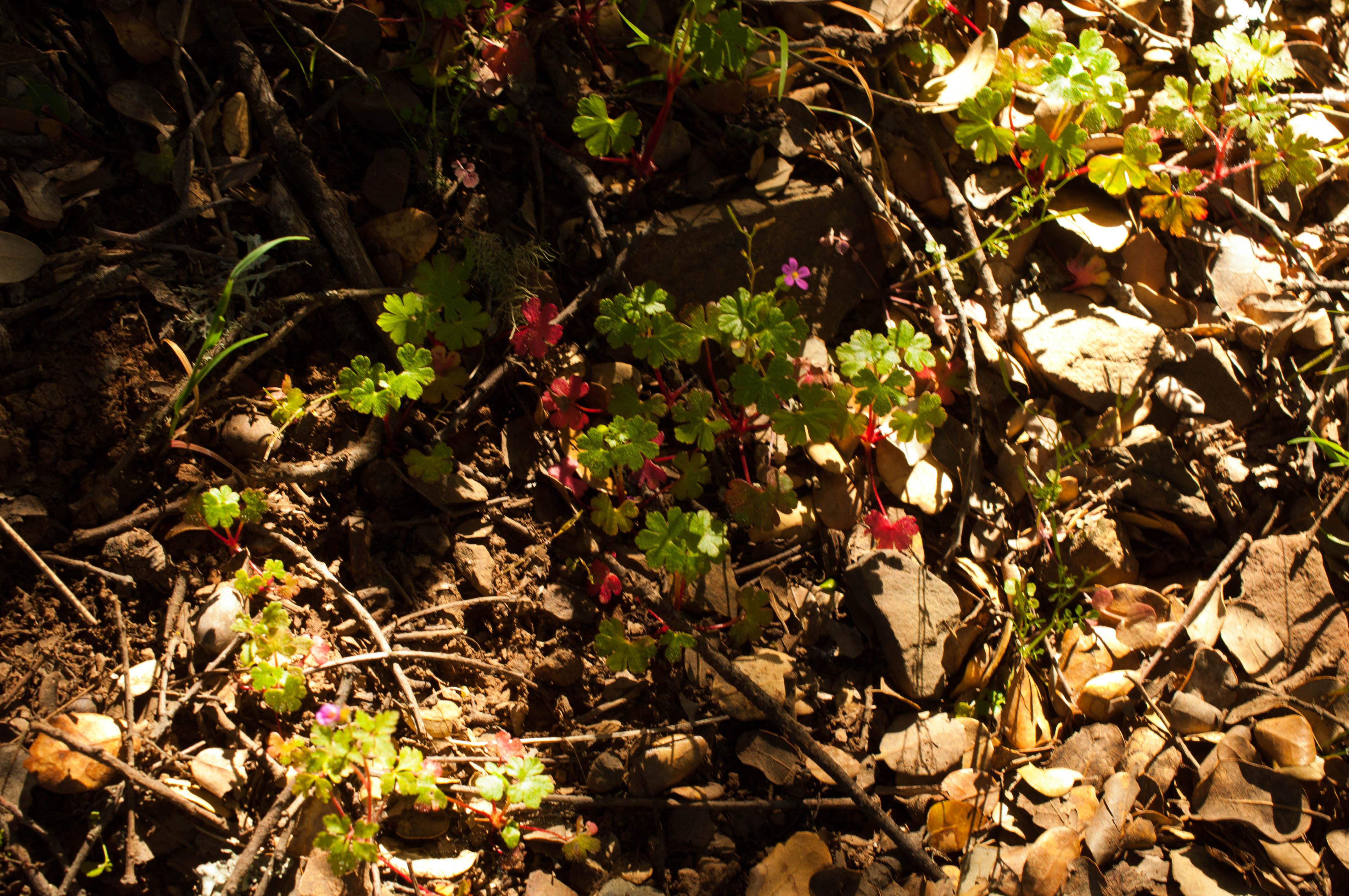 Geranium rotundifolium Las Obreras de Aliste CB Artesanos de la Miel Aliste Gallegos del Campo Artesanos de la Miel