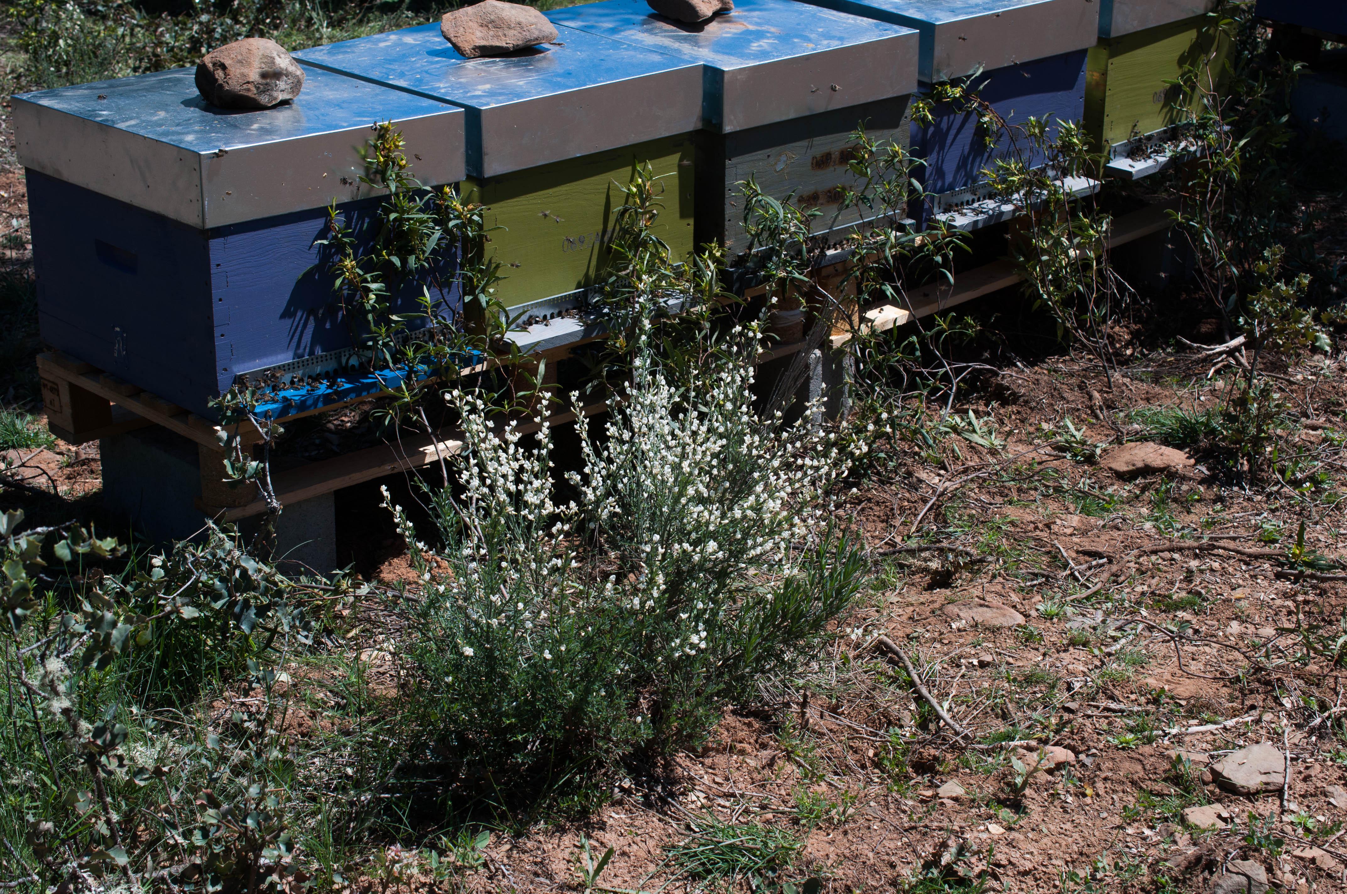 Cytisus multiflorus Las Obreras de Aliste CB Artesanos de la Miel Aliste Gallegos del Campo Artesanos de la Miel