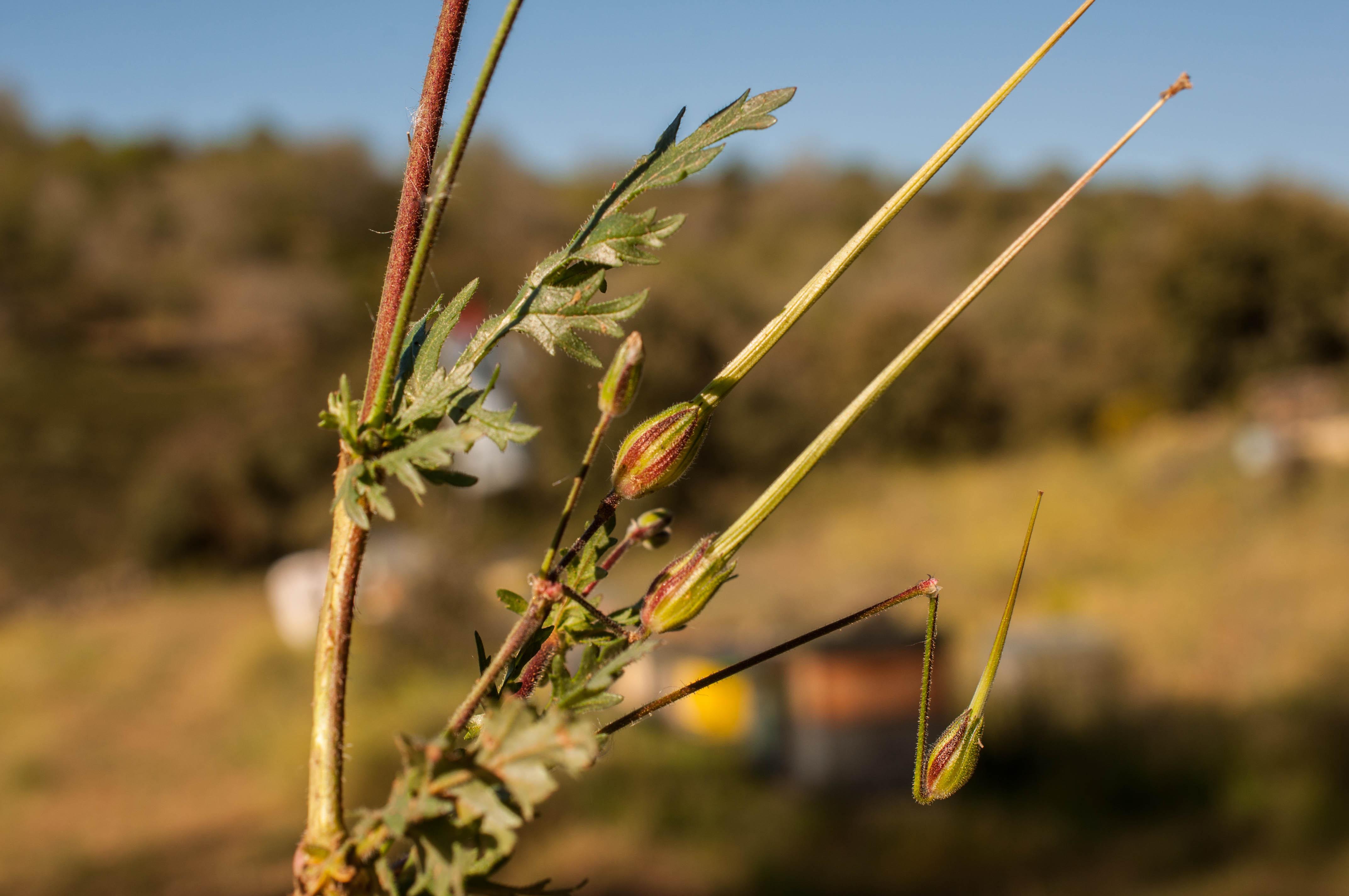 Erodium cicutarium Las Obreras de Aliste CB Artesanos de la Miel Aliste Gallegos del Campo Artesanos de la Miel