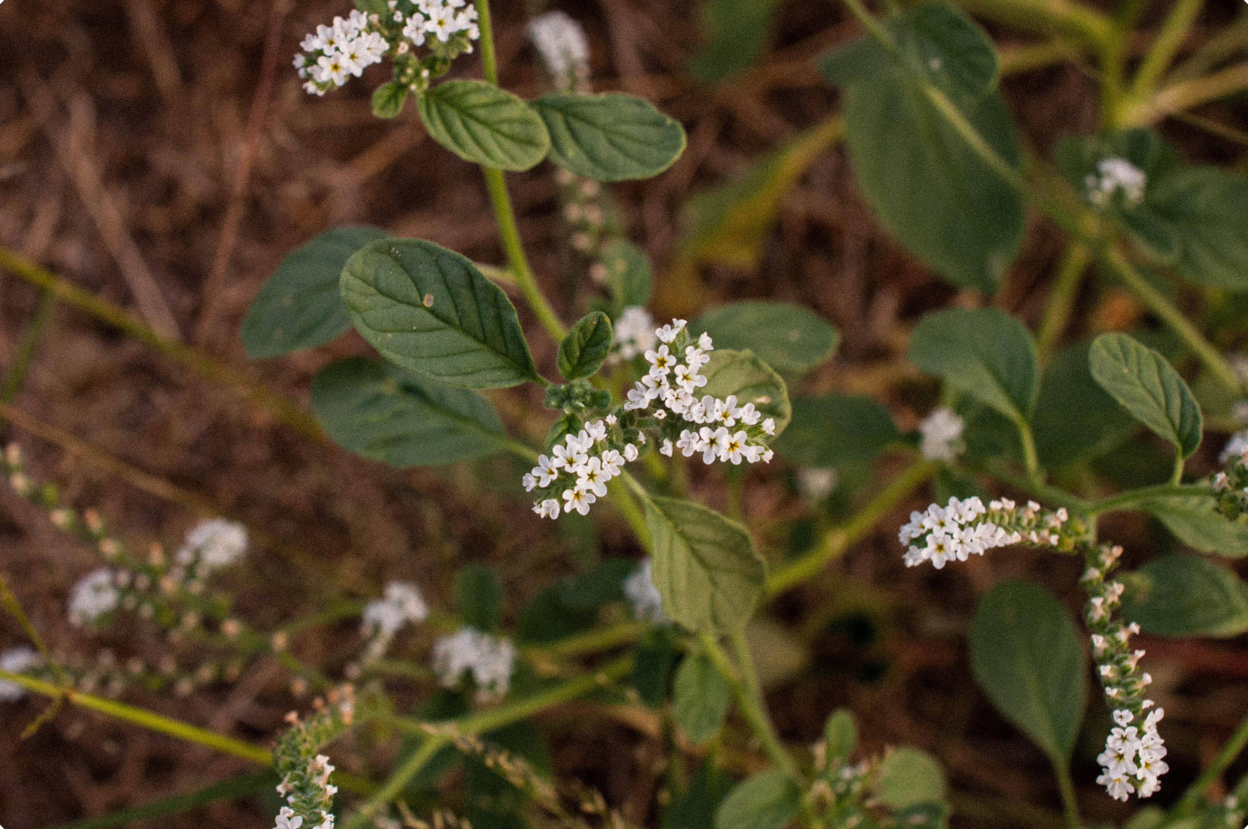 Heliotropium europaeum L. Verruguera Las Obreras de Aliste CB Artesanos de la Miel Aliste Gallegos del Campo