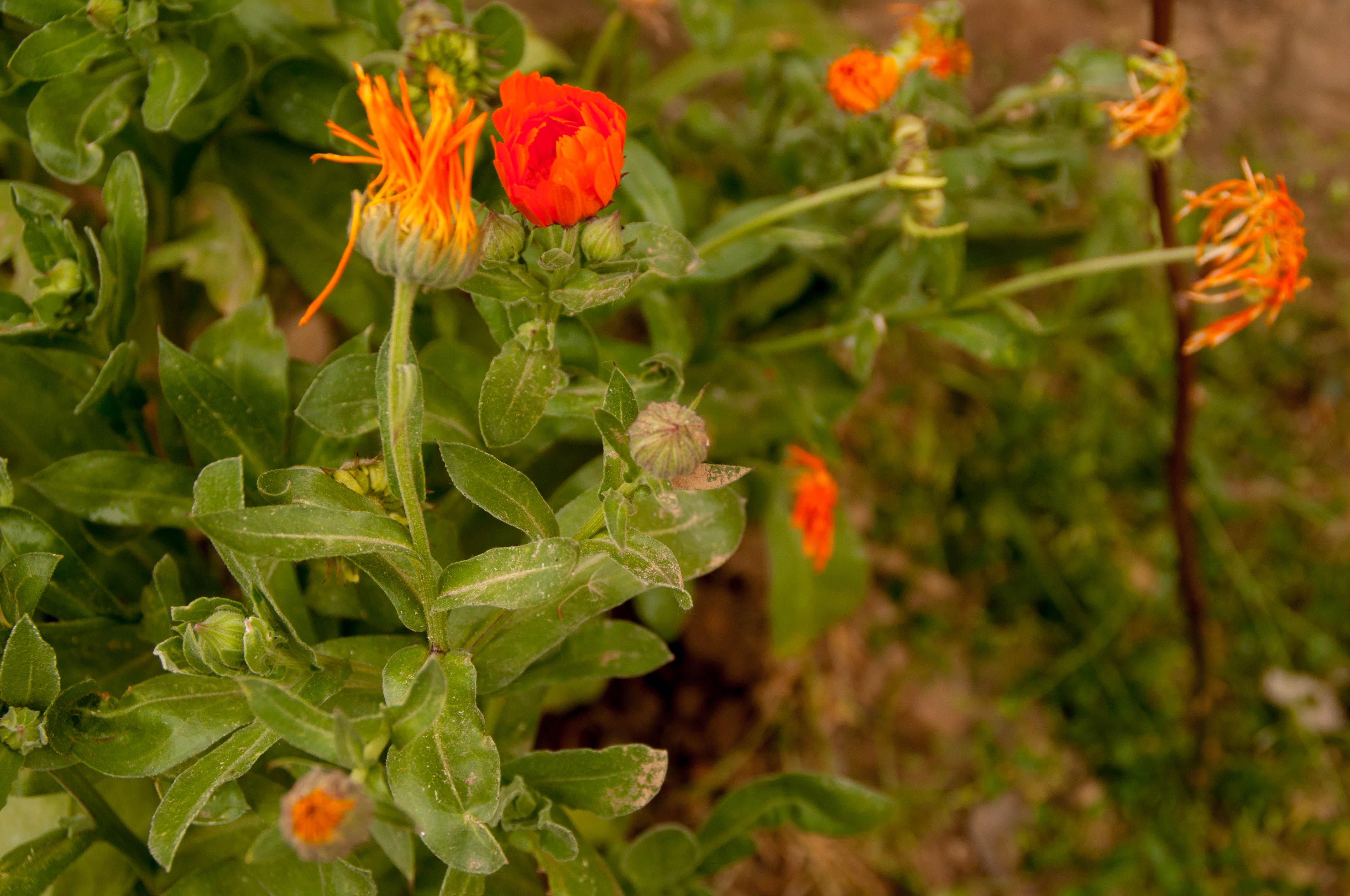 Calendula officinalis Las Obreras de Aliste