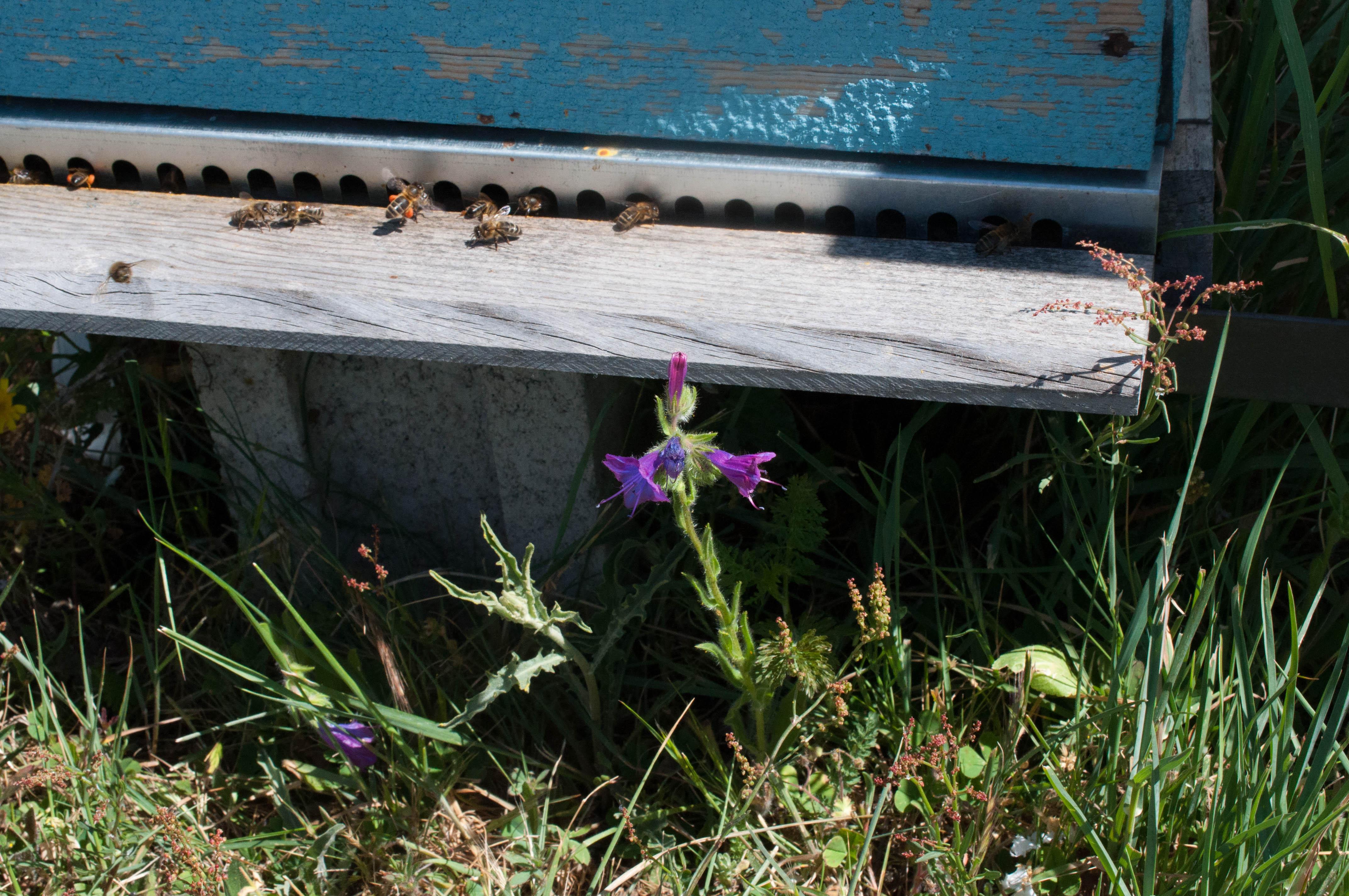 Chupamiel Echium plantagineum Las Obreras de Aliste