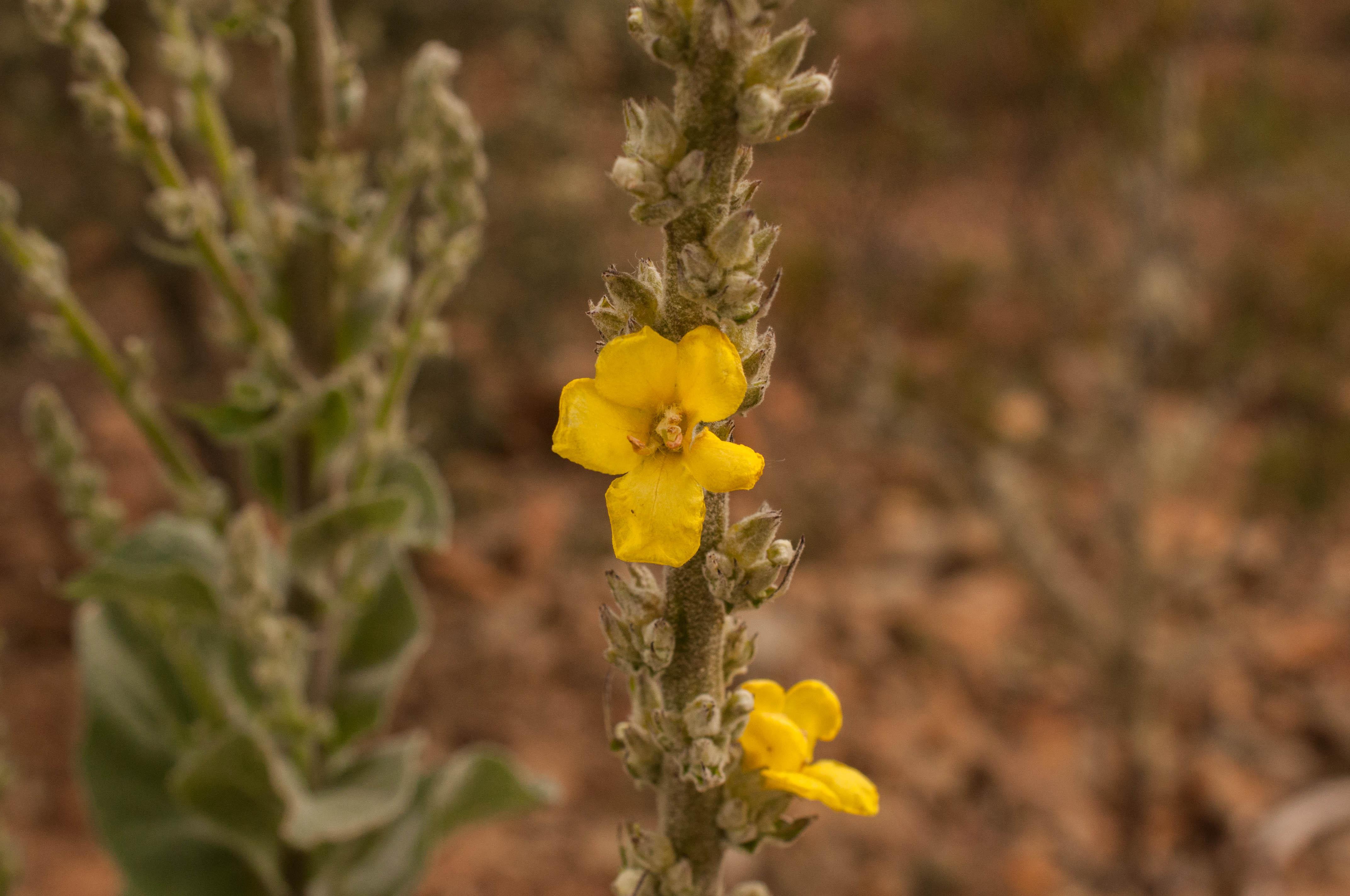 Verbascum thapsus Las Obreras de Aliste