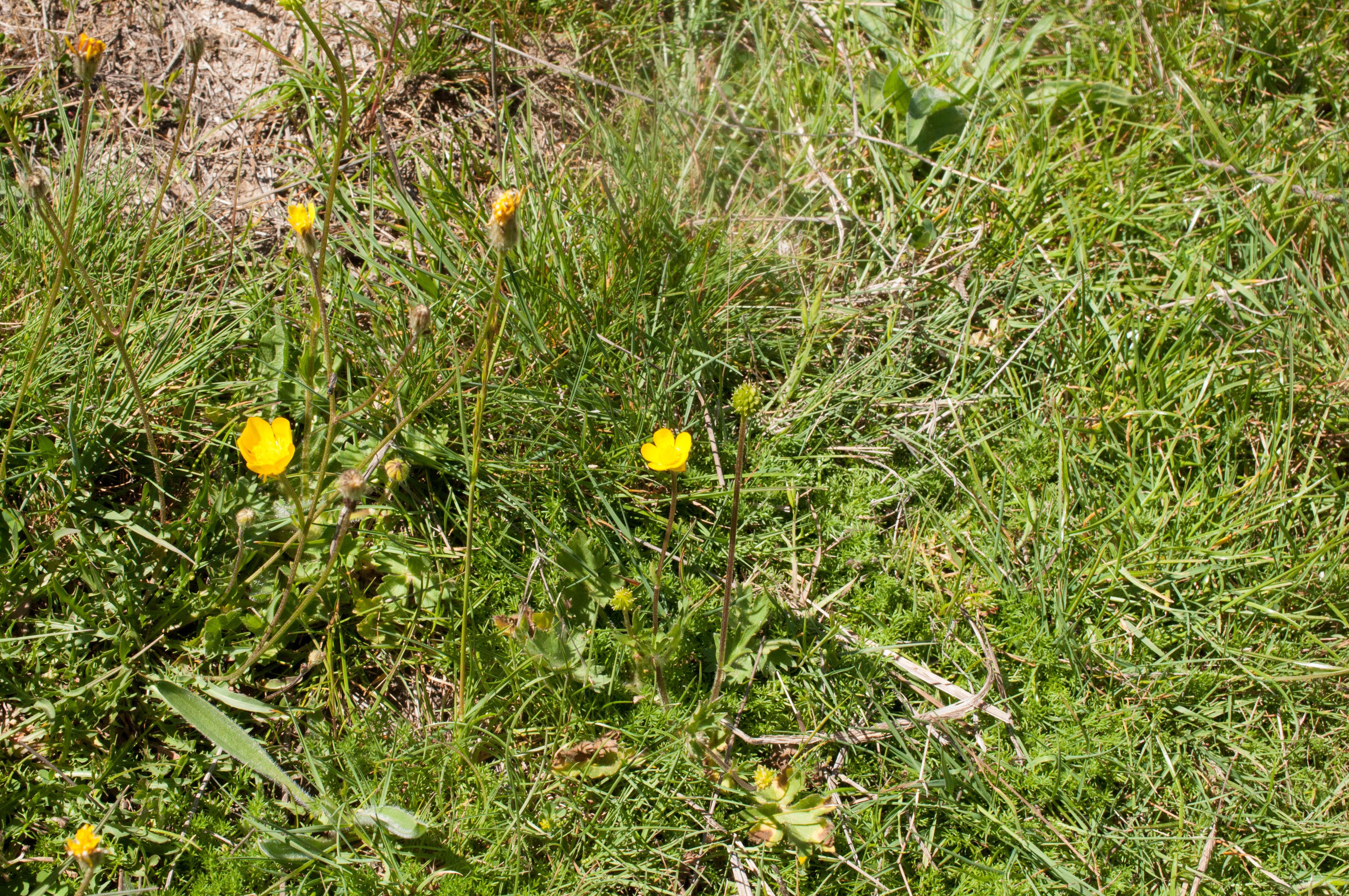 Ranunculus repens Las Obreras de Aliste