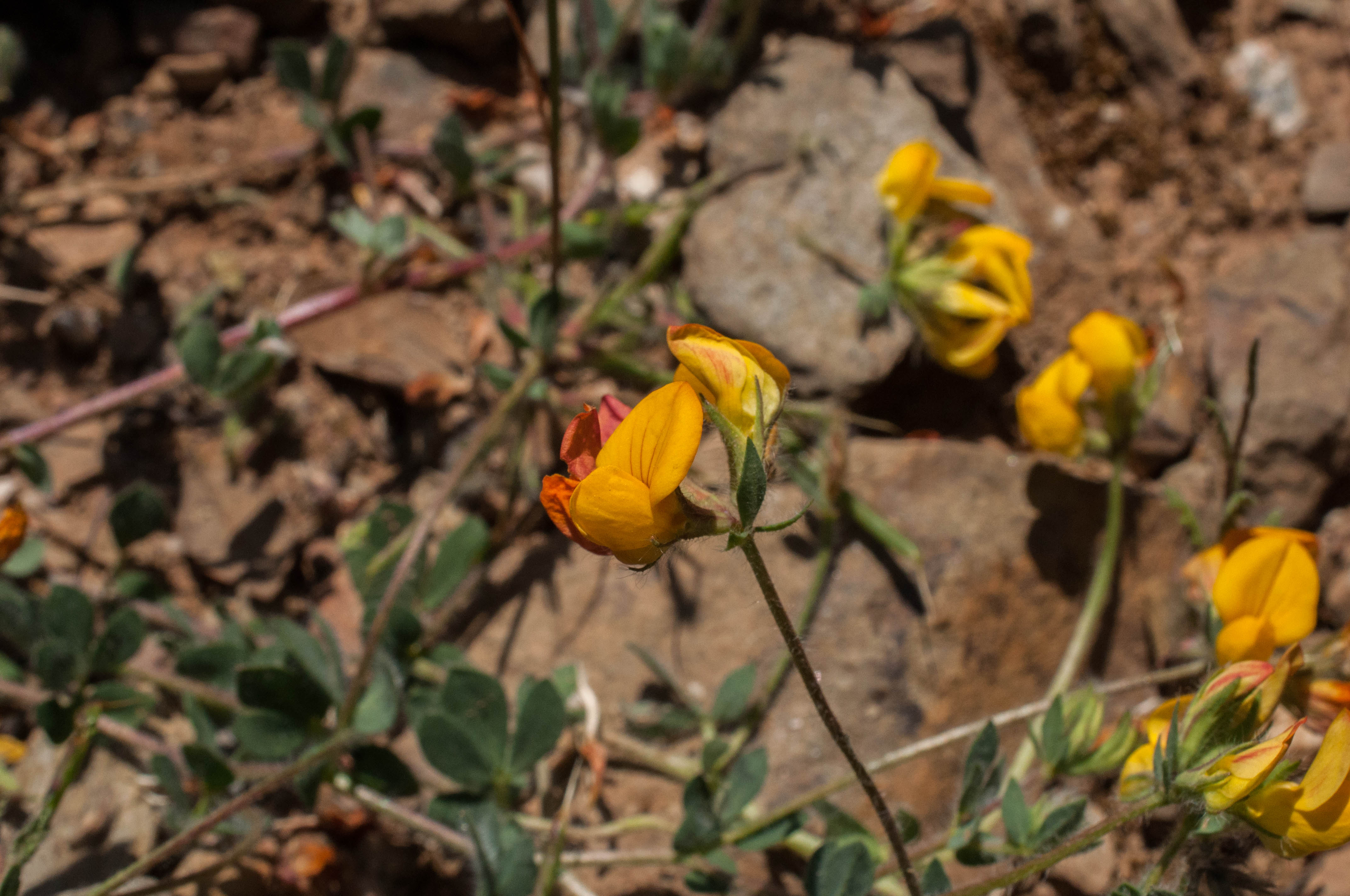 Lotus corniculatus Zapaticos de la Virgen Las Obreras de Aliste CB Artesanos de la Miel Aliste Gallegos del Campo Artesanos de la Miel