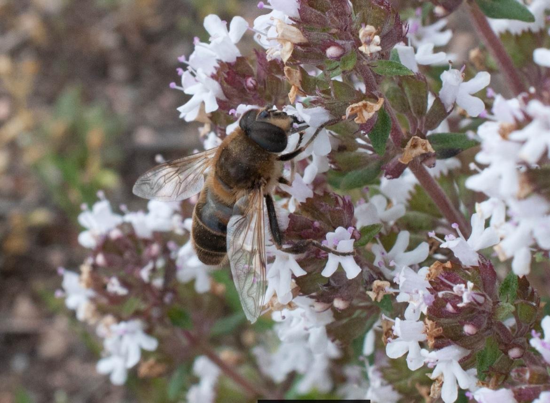 pecoreando flor tomillo Las obreras de Aliste Artesanos de la miel zamora spain