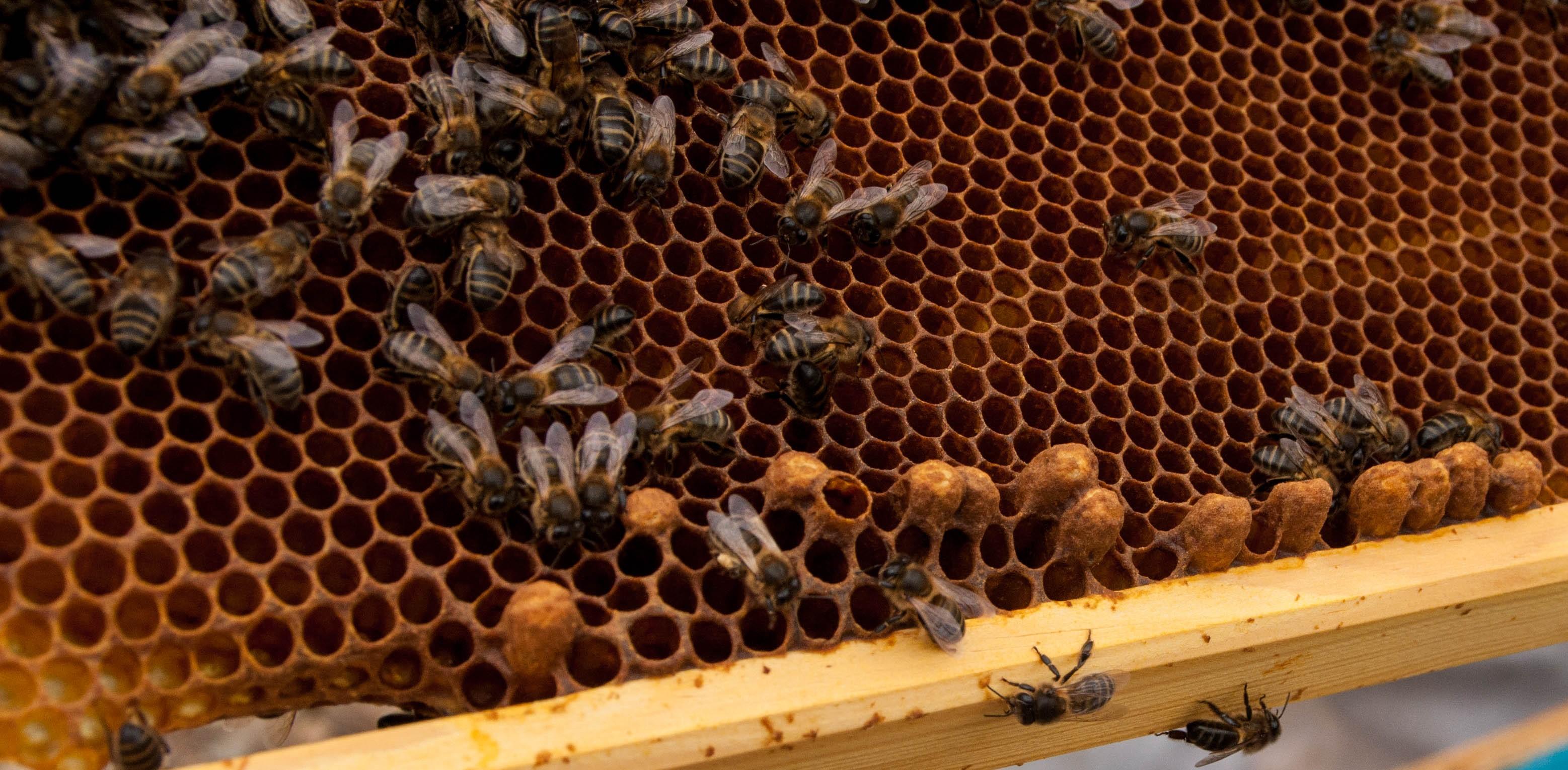 huevos zánganos y obreras Las Obreras de Aliste miel