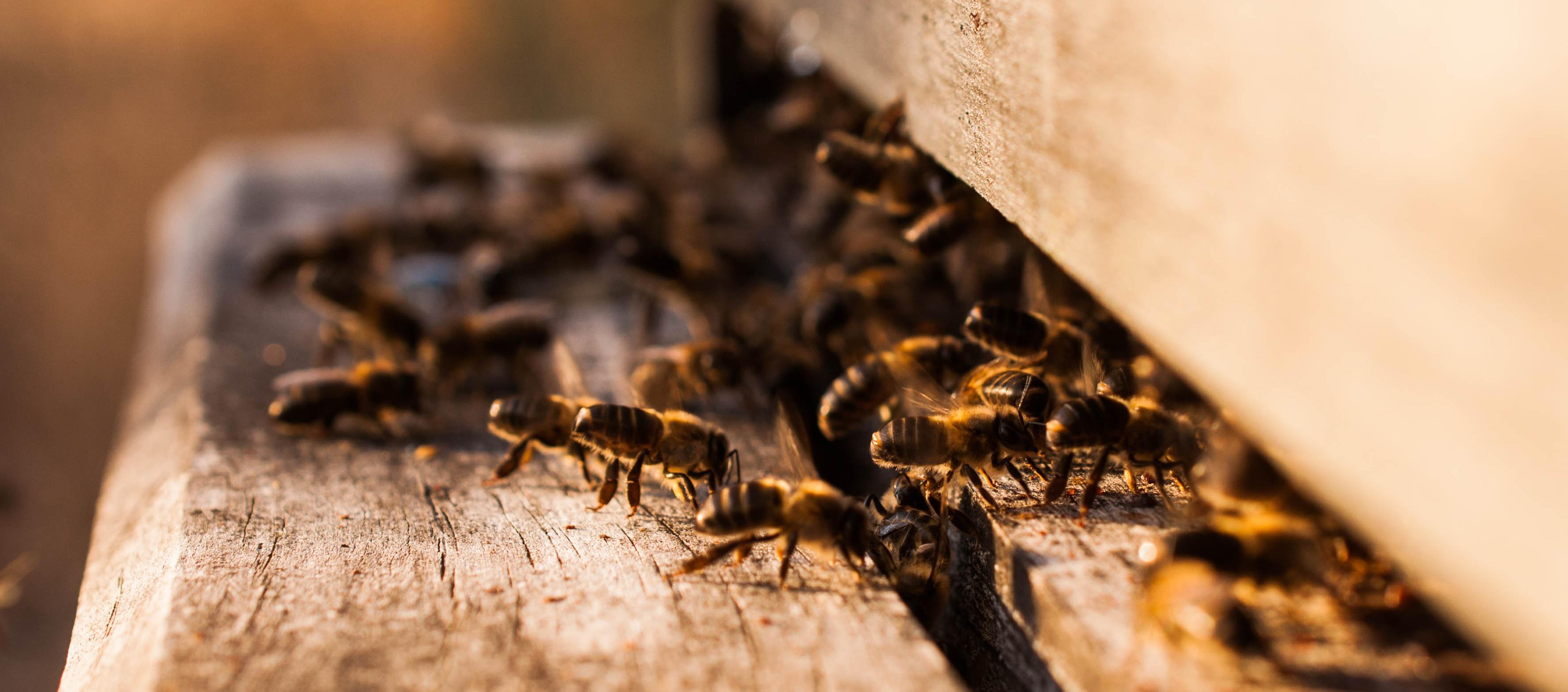 animal welfare bienestar animal Las obreras de aliste cb abejas miel